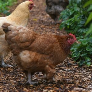 Chicken and Livestock Feed