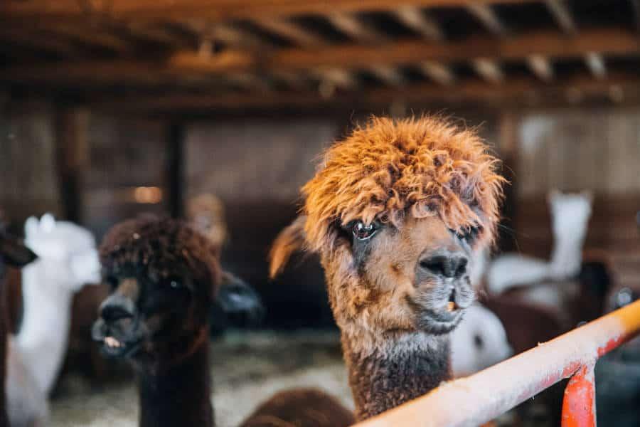 Llama Livestock