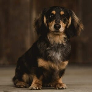 Mort the Long Haired Dachshund